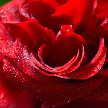 Red rose close-up - image #182837 gratis