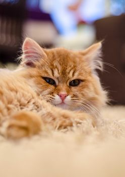 Cute Persian cat - Free image #182967