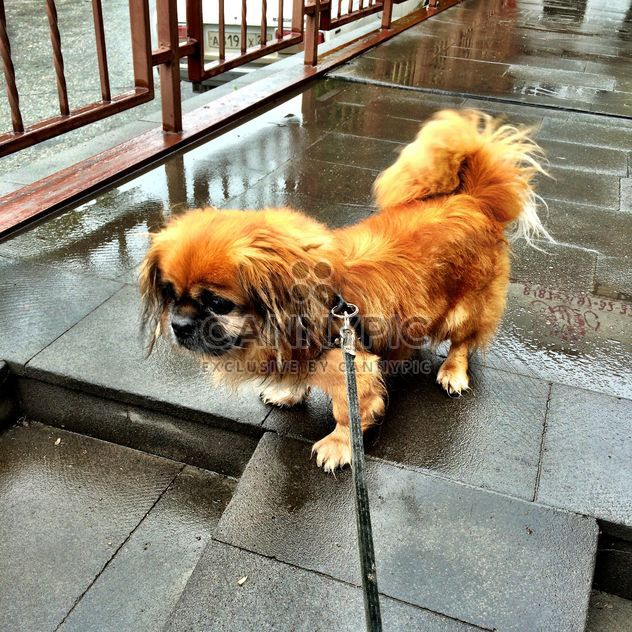 Pekingese on a leash - Free image #183207