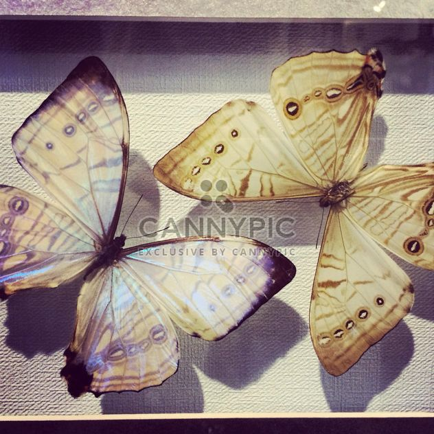 Two dried butterfies - Free image #183227