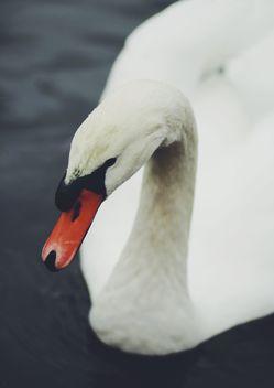 White Swan - Free image #183677