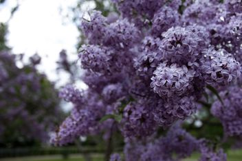 Lilac in garden - Free image #184267