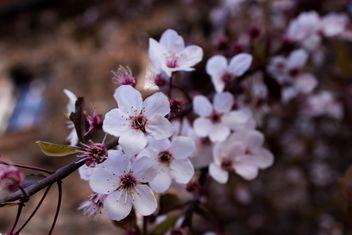 Cherry tree blossom - Kostenloses image #184467