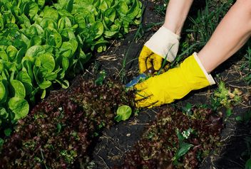 Lettuce gardening - Free image #185747