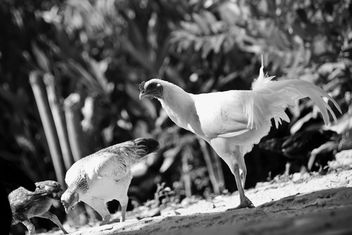 Chickens in yard, black and white - Free image #186117
