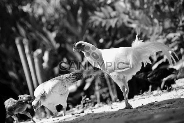 Gallinas en patio, blanco y negro - image #186117 gratis