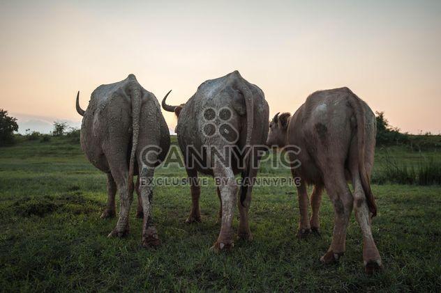 Tres búfalos blancos - image #186577 gratis