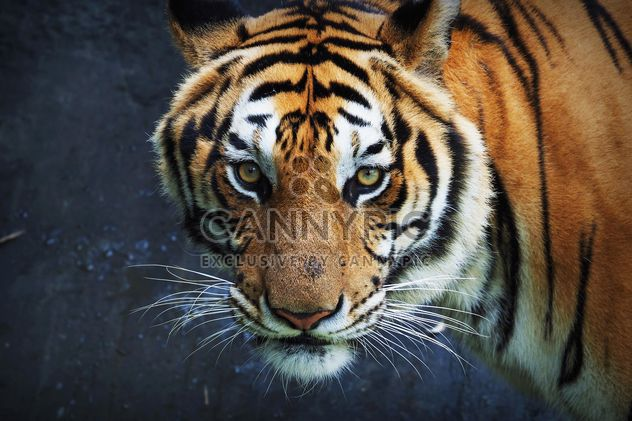 Tiger in Thailand zoo - Free image #186927