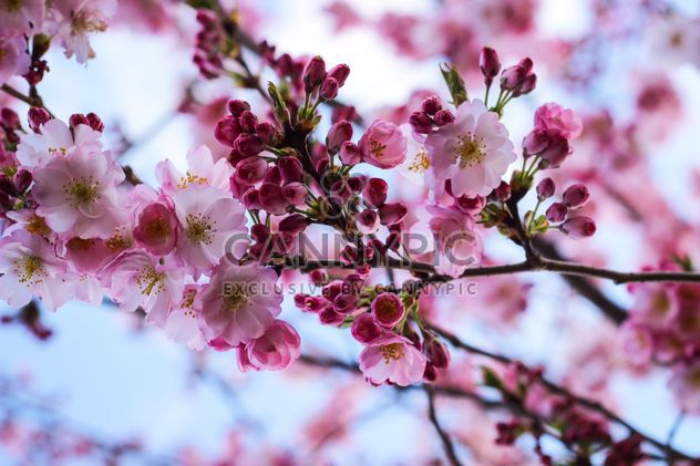 Cherry blossom in spring - Free image #187617
