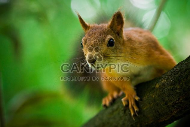 squirrel on the tree - Free image #187707