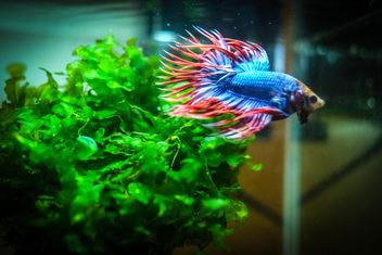 Siamese fighting fish in nano tank - бесплатный image #198007