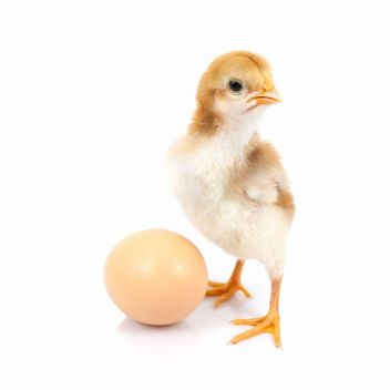 Baby Chicken - Free image #198027