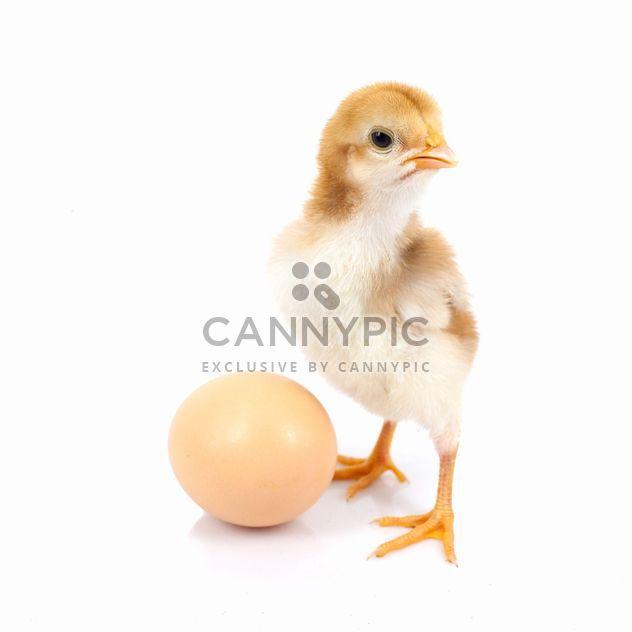 Baby Chicken - Free image #198027