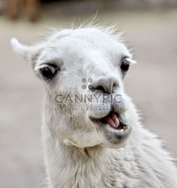 lama close up - Free image #198197