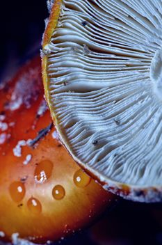 Amanita mushrooms with water drops - Free image #198207