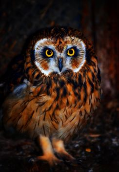 Close-up portrait of owl - image #198227 gratis