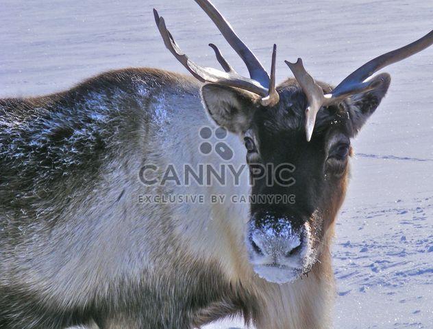 Reindeer - Free image #199007