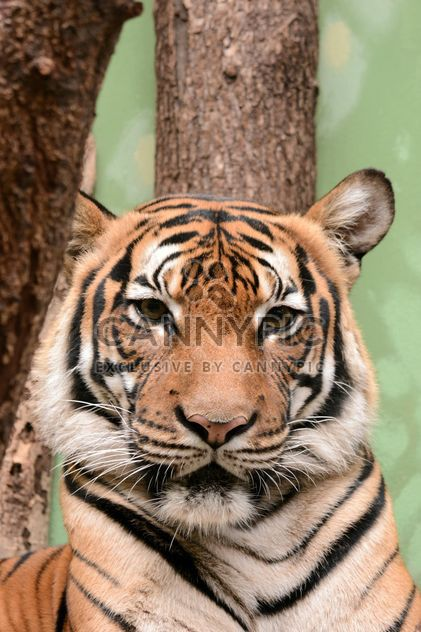 Tiger close up - Free image #201467