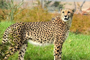 Cheetah close up - Free image #201477