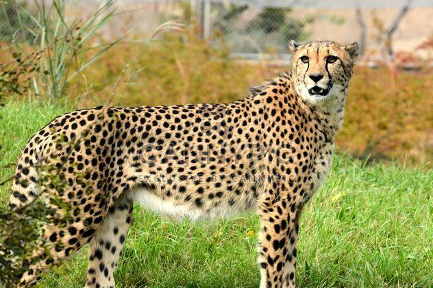 Cheetah close up - Free image #201477