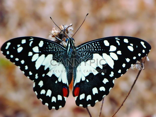 Close-up de mariposa negra cal - image #201537 gratis