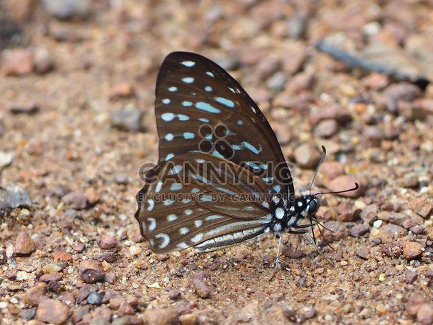 Borboleta azul tigre - Free image #201567