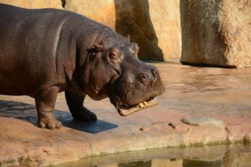 Hippo In The Zoo - image gratuit(e) #201587