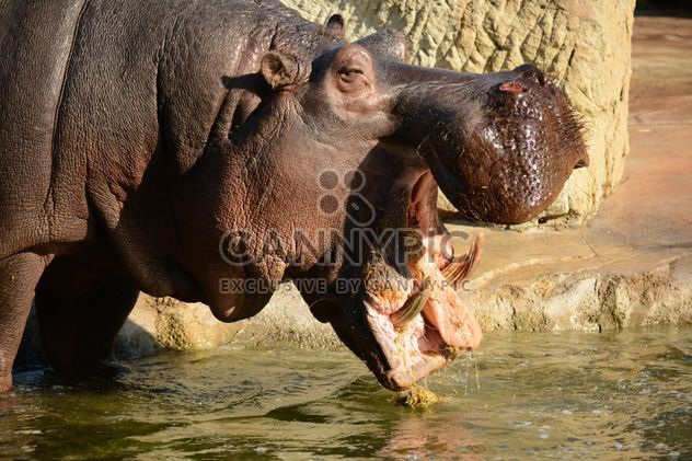 Hippo In The Zoo - Free image #201597
