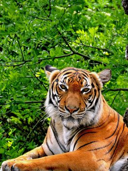 Tiger Close Up - image #201607 gratis