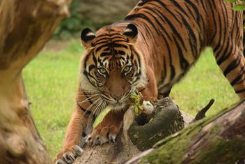 Tiger in the Zoo - Free image #201617
