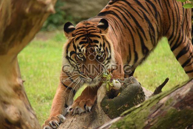 Тигра в зоопарке - Free image #201617