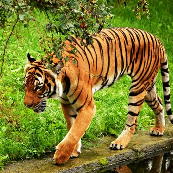 Tiger in the Zoo - Free image #201667