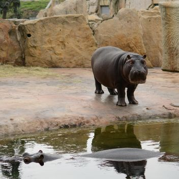 Hippos In The Zoo - Kostenloses image #201697