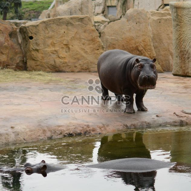 Hippos In The Zoo - image gratuit #201697