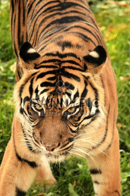 Tiger Close Up - Free image #201727