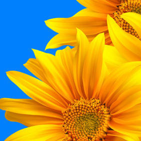 Sunflower - vector gratuit #210927