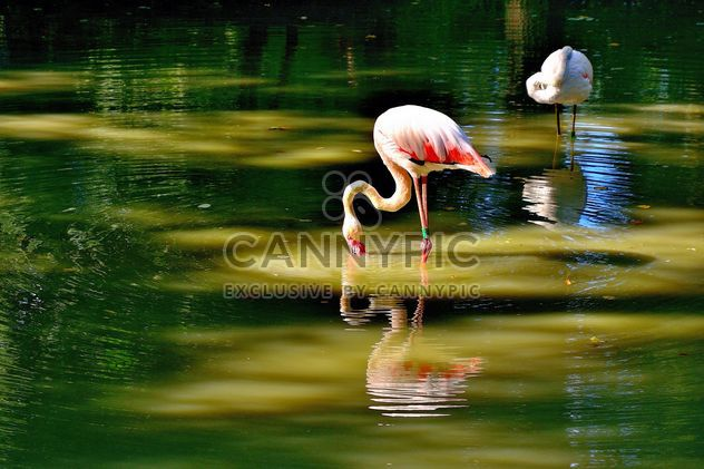 flamingo - Free image #229367