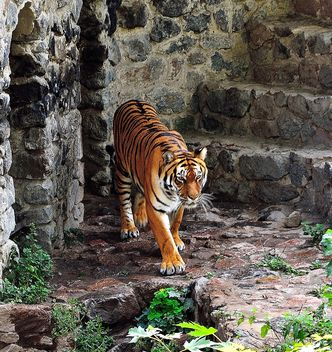 Tiger - Free image #229377