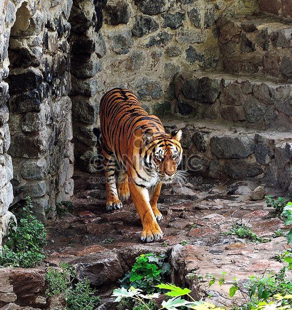 Tigre - image #229377 gratis
