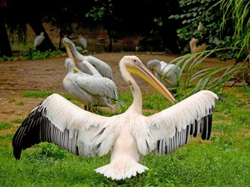 Pelicans on green grass - image #229487 gratis