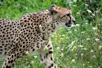 Cheetah on green grass - image #229497 gratis