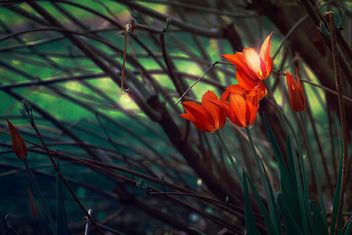 Red tulips in garden - image gratuit #271967