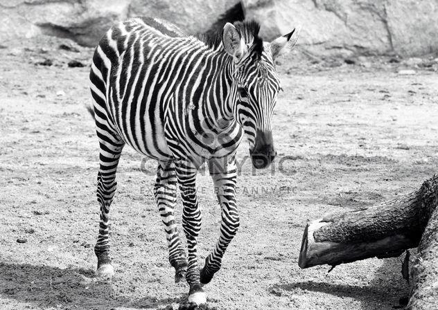 Zebra in the zoo - Free image #272137