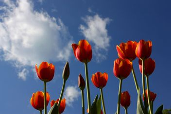 Red tulips - image gratuit(e) #272917