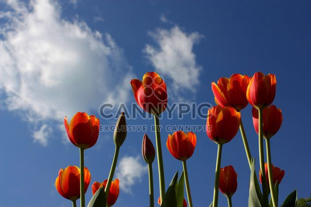 Red tulips - Free image #272917