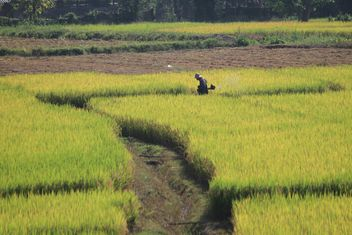 Farmer in rice field - Free image #272937