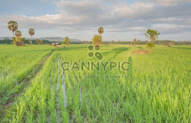 Rice fields - Free image #272947