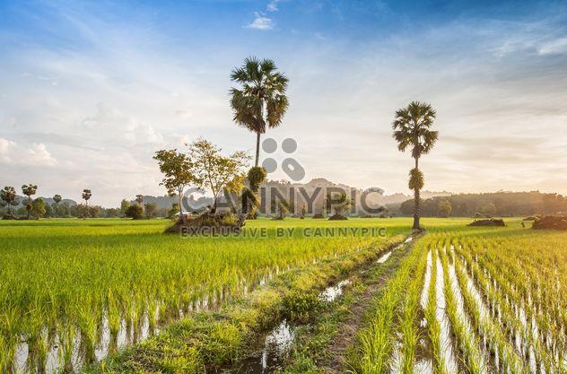 Campos de arroz - image #272957 gratis