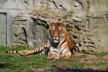 Tiger in Park - image #273617 gratis