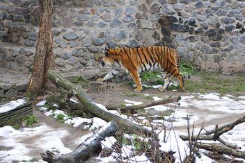 Ussuri tiger - image #273627 gratis